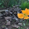California Poppy and Rocks, Eschscholzia Californica