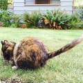 Crazy Tail Cat