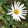 Fall Daisy