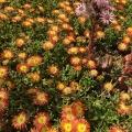 Ice Plant, Mesembryanthemum