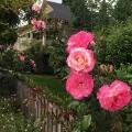 Neighborhood Roses 2