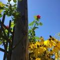 Sunny Roses, Black Eyed Susans