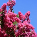 Crepe Myrtle, Lagerstroemia, Crystal Springs Rhododendron Garden