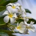 Plumeria 4, Waimea, Kauai, Hawaii