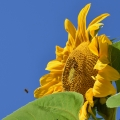 Sunflower and Clear Sky