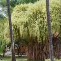 Hala Tree, Pandanus Odoratissimus, Waimea, Kauai, Hawaii
