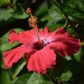 Hibiscus, Big Island, Hawaii