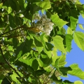Kukui Nut Tree, Aleurites Moluccanus, Waimea, Kauai, Hawaii