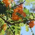 Mountain Ash, Sorbus Americana