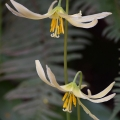 Oregon Fawn Lily, Erythronium Oregon, Deepwood Gardens