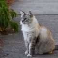 Tabor Kitty Cat