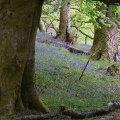 Bluebells Near Mugdock Castle, Scotland