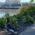 Kew Gardens Duck, London