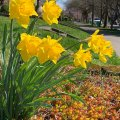 More Daffodils 2