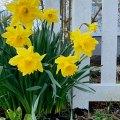 More Daffodils 3