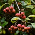Pear Hawthorn, Crataegus Calpodendron, Hoyt Arboretum