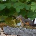PNW Squirrel
