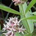 Show Milkweed, Asclepias Speciosa
