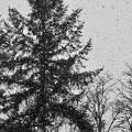 Snow Tree, Washington