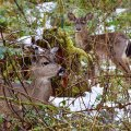 Spot the Deer, Washington