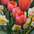 Tulip Time 5