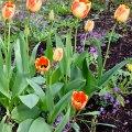 Tulip Time 6