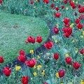 Tulips, Whitehall Gardens, London