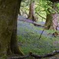 Bluebells Near Mugdock Castle, Scotland