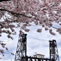 Cherry Blossoms and Steel Bridge