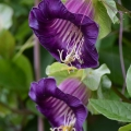 Cup and Saucer Vine, Cobaea Scandens, Kew Gardens, London