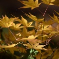 Fall Maple, Portland Japanese Garden