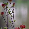 Flower Buds, St. James's Park, London