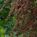 Hawthorn Berries, Hoyt Arboretum