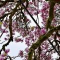 Overcast Magnolia