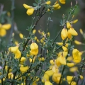 Scotch Broom, Sarothamnus Scoparius, Glasgow, Scotland