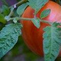 Shady Tomato