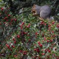 Squirrel Eating Hawthorn Berries, Hoyt Arboretum