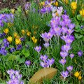 Crocus Party