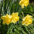 Daffodils 6