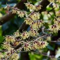 More Witch Hazel