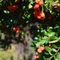 Odd Berries (Arbutus Unedo)