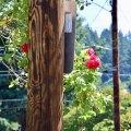 Pole Roses