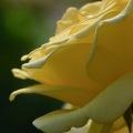 Rose 6, 2