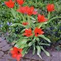 Tulip Time 8