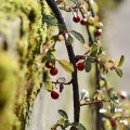 Winter Vines 3