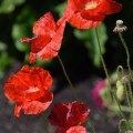 Floppy Poppies (Eugene, Oregon)