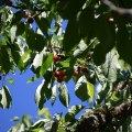 Owen Cherry Tree (Eugene, Oregon)