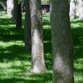 Row of Trees, Lithia Park (Ashland, Oregon)