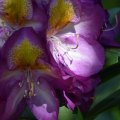 Shady Rhododendron
