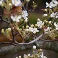 Spring Blossoms 3